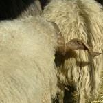 SchafesHorn