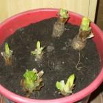 Chicoree-Wachstum