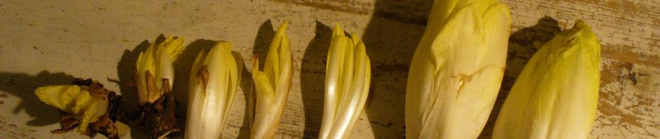 Chicoree-Ernte