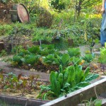 Chicoreepflanzen