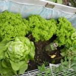 SalatGenuss